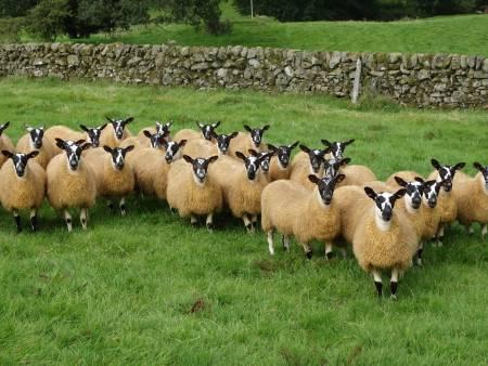 Scotch mule ewes
