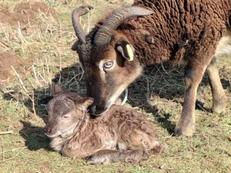 Soay ewe and lamb
