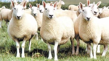 Welsh Halfbred sheep