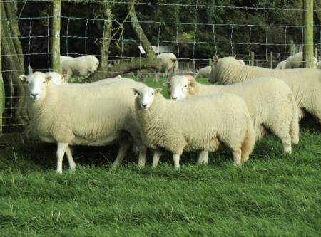 Welsh Mountain Pedigree sheep