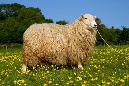 Whiteface Dartmoor ewe