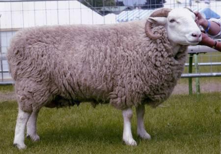 White Faced Woodland ewe