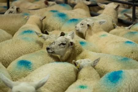 NSA Eastern Region and AHDB Beef & Lamb 'Minimising carcase losses'