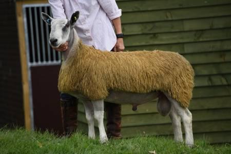 NSA Wales & Border Main Ram Sale 2017