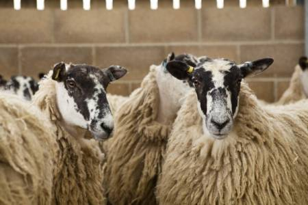 No need to panic about changes to sheep movement reporting system in England, says NSA