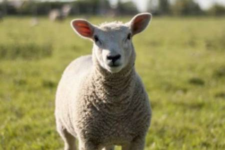 Vision launched for future of British lamb production