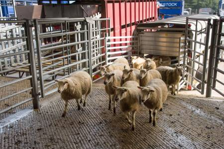 Urgent action needed to protect the UK sheep industry, says NSA