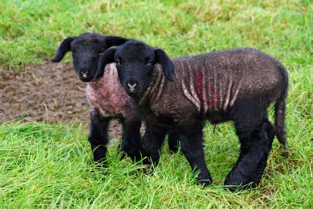 NSA reminds MPs that sheep farmers are producing lambs today with no idea of future trade relationships