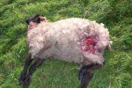 Opportunity for all to get involved in NSA sheep worrying campaign