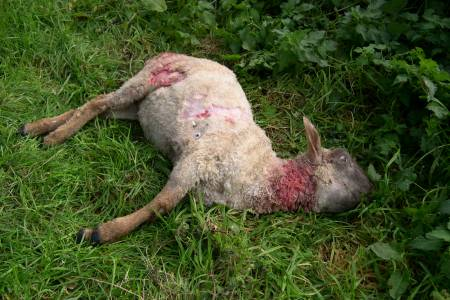 NSA urges sheep farmers to share dog worrying experiences in annual survey