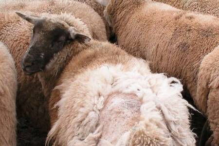 NSA involved in national project to demonstrate improved methods for controlling sheep scab