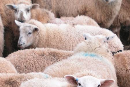 Sheep Industry Group Calls for Funding to Control Sheep Scab in Wales