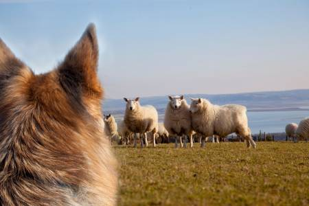 NSA survey reveals alarming trend in sheep worrying by dog attacks