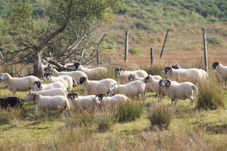 NSA challenges short sighted research on replacing sheep farming with forests