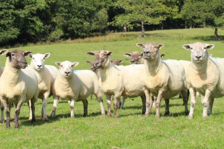 NSA welcomes sheep industry support policy pledge in leadership contest