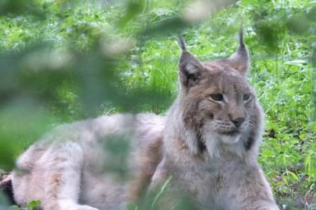Current legislation will not allow proposed lynx release, warns NSA