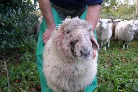 NSA survey highlights specifics of dog attacks on sheep