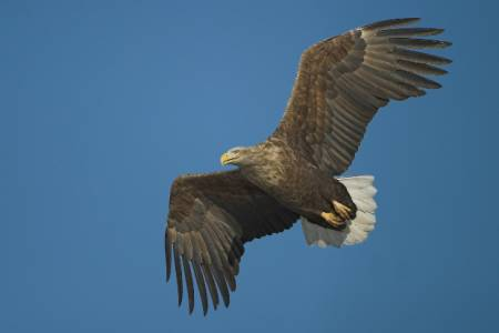 NSA expresses its disapproval following Natural England's decision to release sea eagles