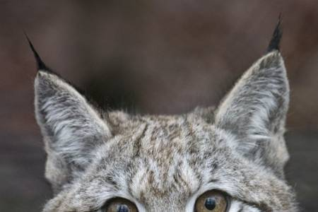 NSA celebrates Defra rejection of lynx release application