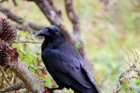 NSA provides additional information to members on raven cull options