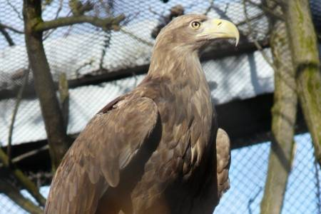 NSA raises concerns with Natural England about proposed eagle release