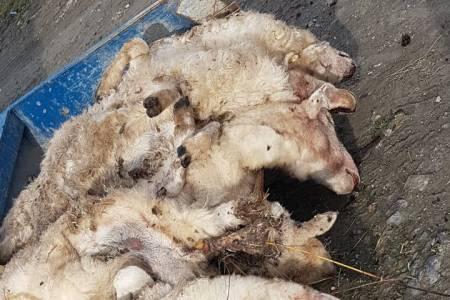 Escaped lynx kills seven sheep, a stark warning?