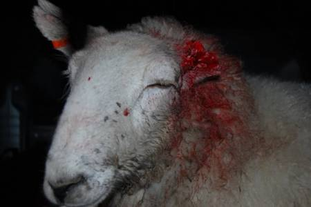 Tagging recommendations for sheep with bitten ears