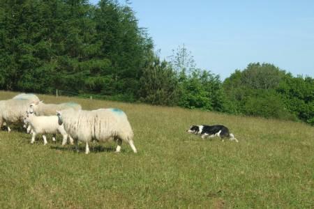 Sheepdog Handling