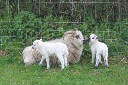 Boreray ewe and lambs