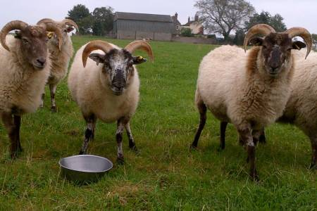 Boreray ewes
