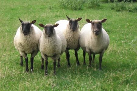 Cambridge ewe and lambs
