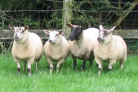Cambridge ewe with Cambridge x Texel lambs