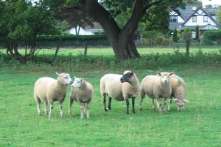 Cambridge ewe with Cambridge x Berrichon lambs