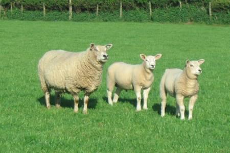 Cambridge xTexel ewe and lambs