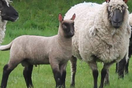 Clun Forest ewe and lamb
