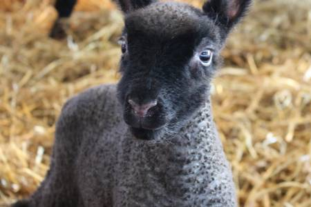 Clun Forest lamb