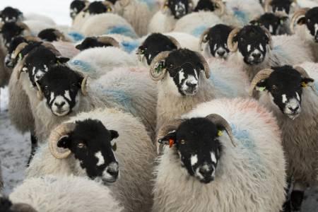Dalesbred ewes
