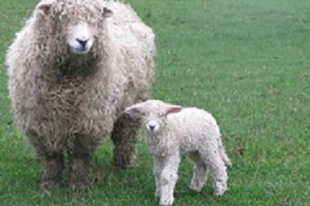 Devon & Cornwall Longwool ewe and lamb