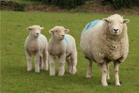 Devon Closewool ewe and lambs