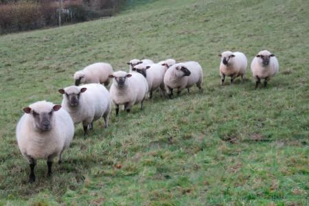 Dorset Down ewes