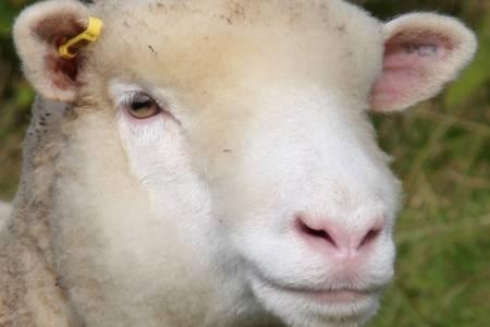 Poll Dorset sheep