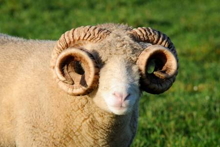 Dorset Horn sheep