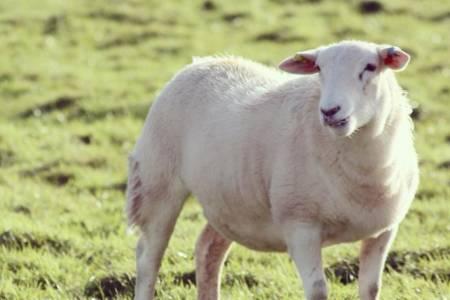 Easycare shearling ewe