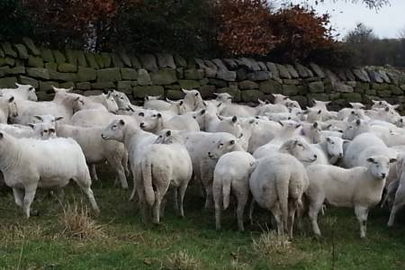 Easy care ewes