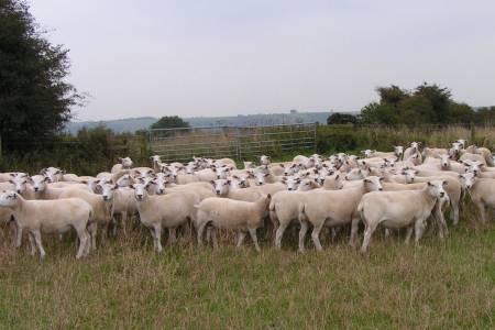 Exlana ewes