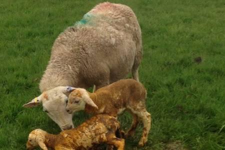 Exlana ewe and lamb
