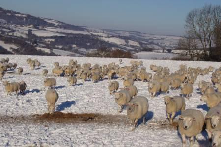 Exlana sheep