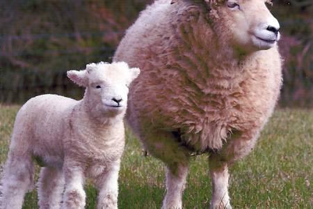 Exmoor Horn ewe and lamb