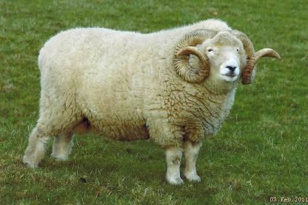 Exmoor Horn ram