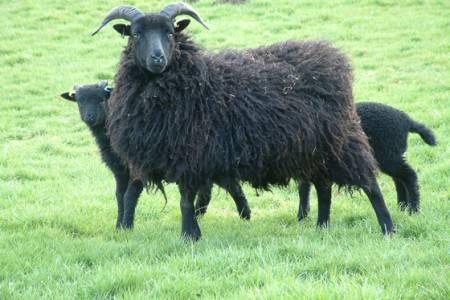 Hebridean ewe and lambs